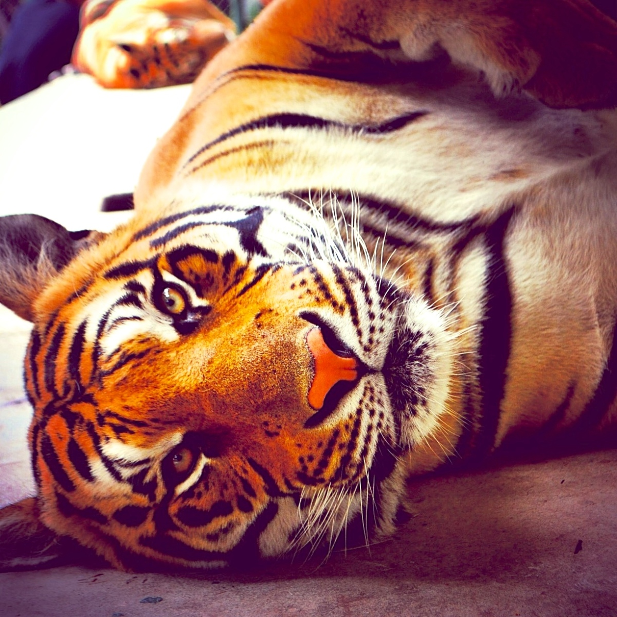 """""""Królestwo Tygrysów"""" - zwierzęcy Woodstock czy łagodna natura?"""