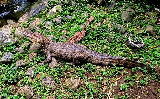 alajuela-zoo-aligator
